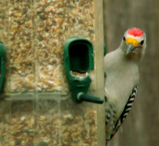 1-26-09Z6Golden-Fronted Woodpecker 1.jpg