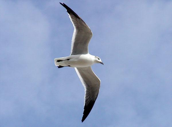 Solo Gull.jpg