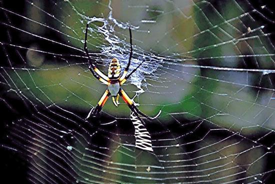 Garden Orb Web Spider 1