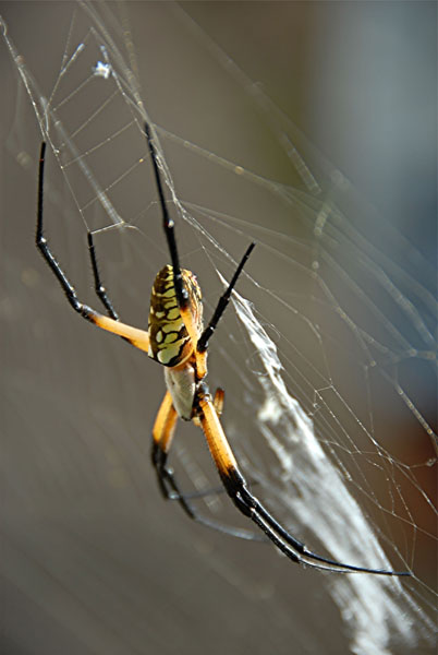 Orb Web Spider 6a.jpg