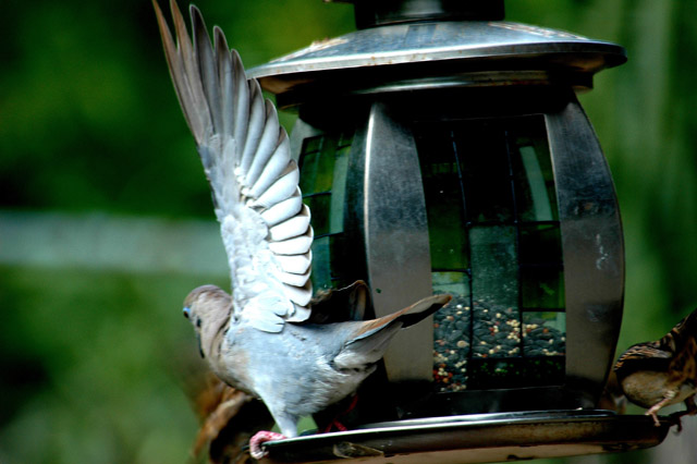 White-winged Dove Threat.jpg