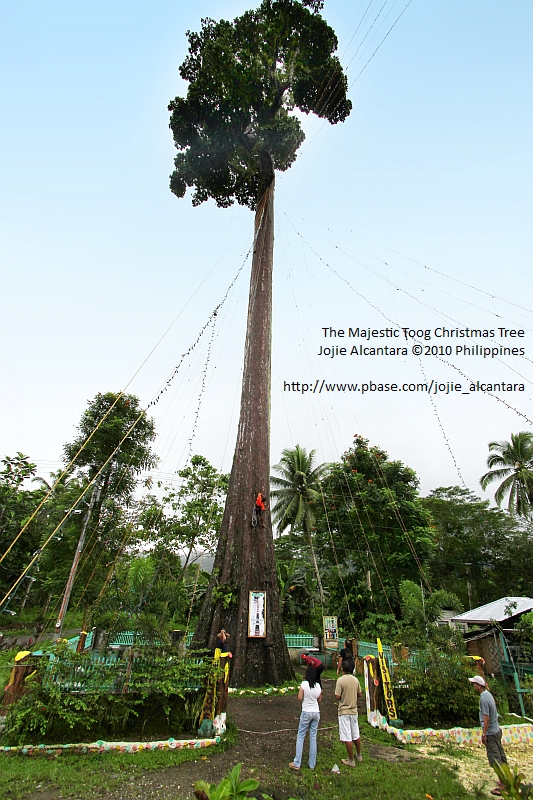 The majestic Toog tree