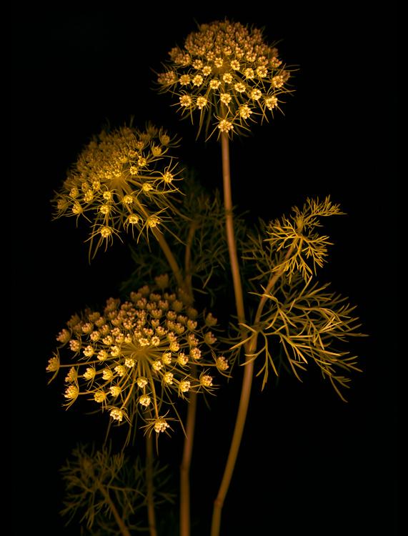 Lace_Golden-Marsha_Tudor