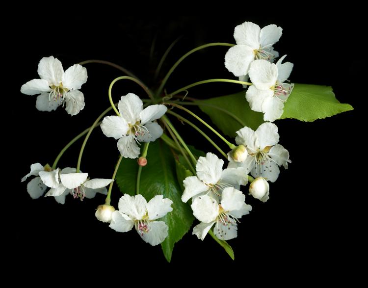 Evergreen_Pear-Marsha_Tudor
