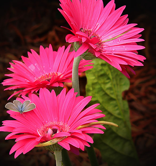The Moth and the Gerbera