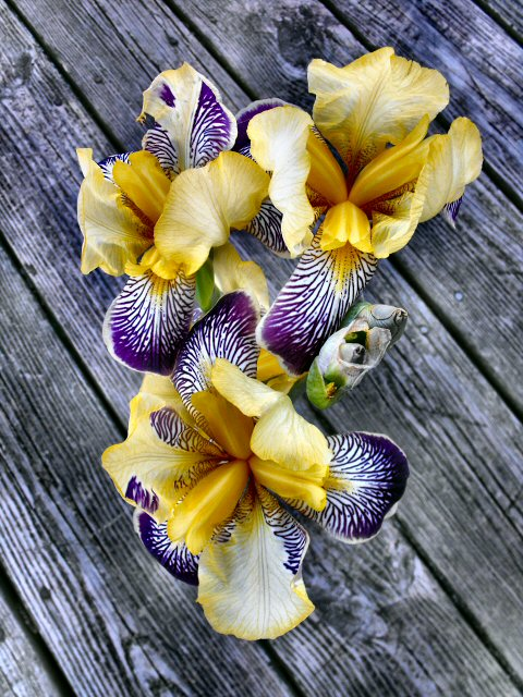 the Lemon Pledge iris