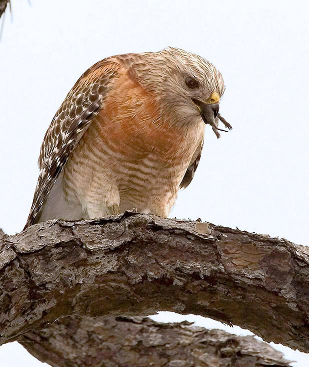 Red-shouldered Hawk finishing meal