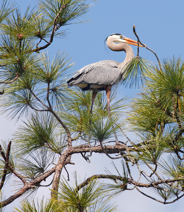 Great Blue Heron-nest building