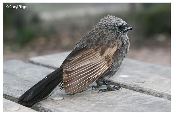 0681-apostle-bird