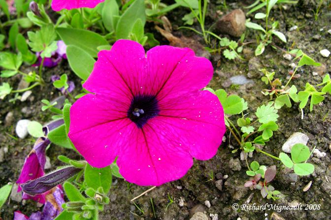 Petunia Wave Purple