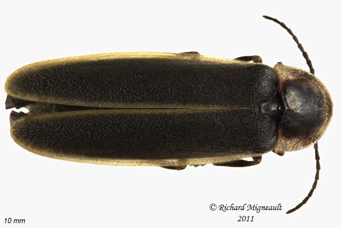 Firefly - Photinus obscurellus 1 m11