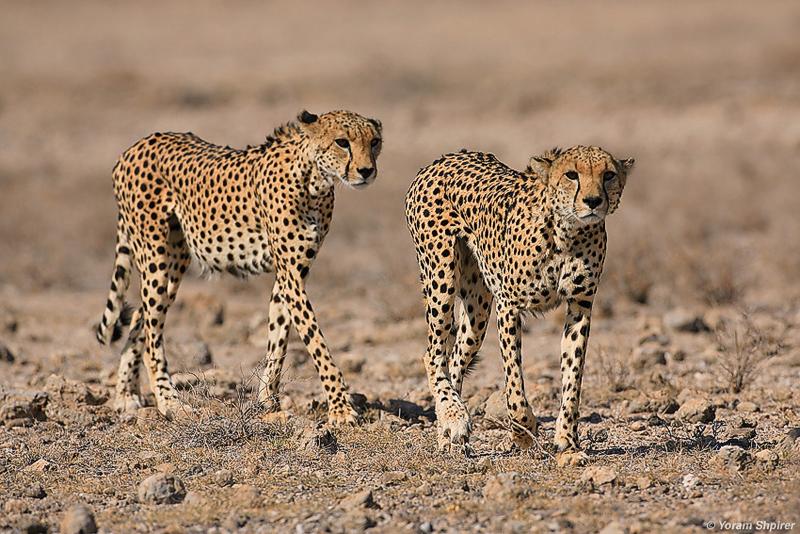 Cheetahs                                                              KENYA 2006