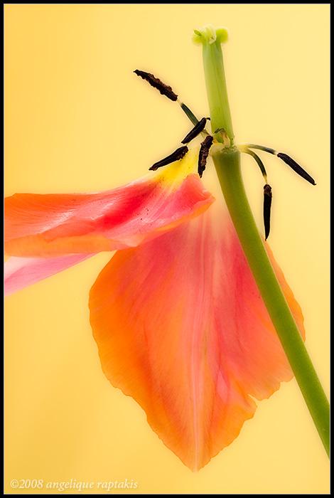 _MG_2577 tulip wfP.jpg