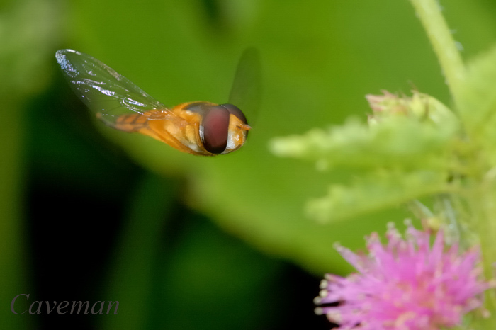 Hoverfly (Asarkina sp)