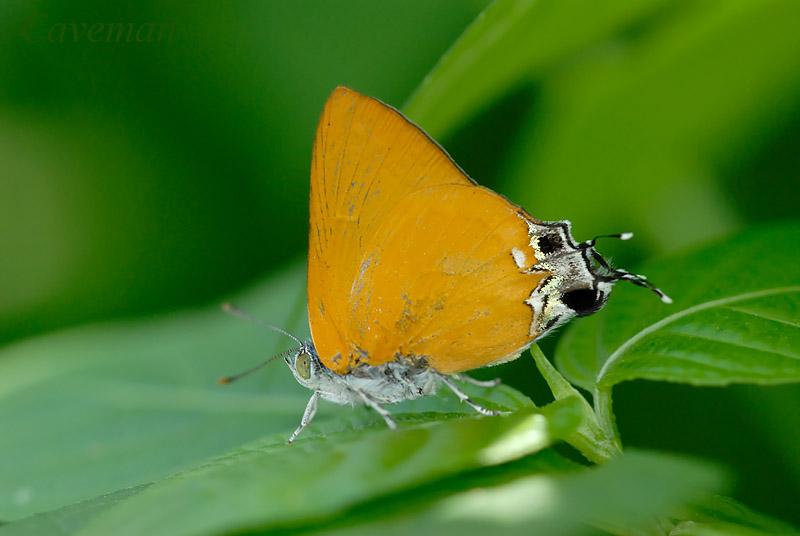 Pseudotajuria donatana donatana (Golden Royal)
