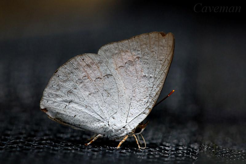 Curetis saronis sumatrana