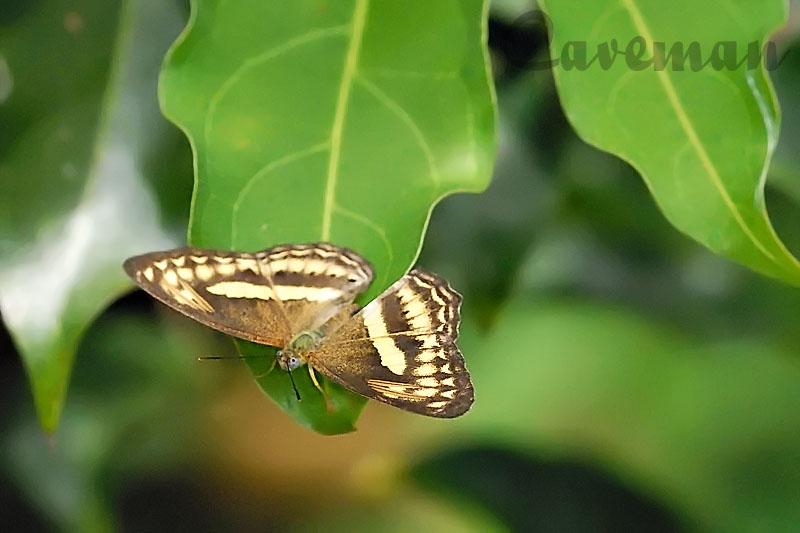 Paduca fasciata fasciata (Forester).jpg