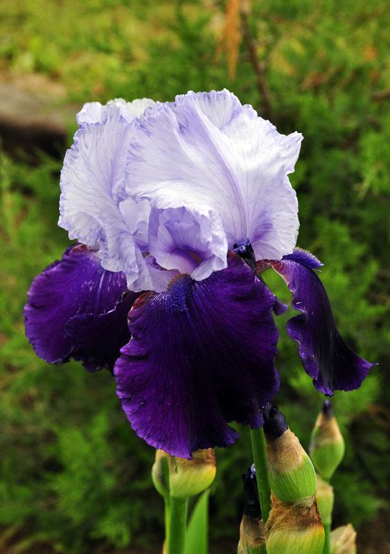 purple-irish.