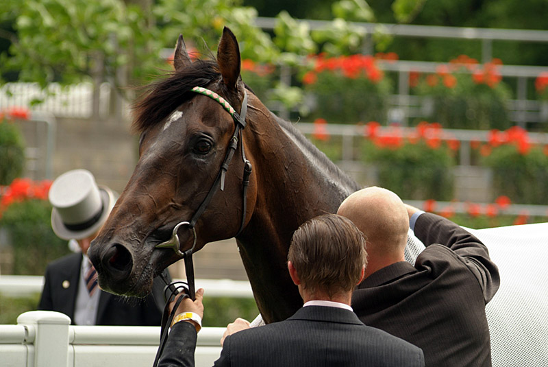 Horse After Race Royal Ascot
