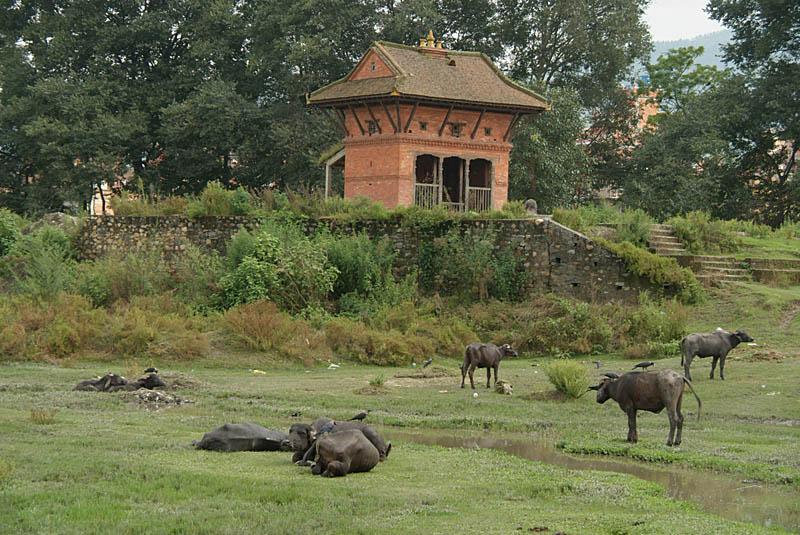 Water Buffalo in Bhaktapur
