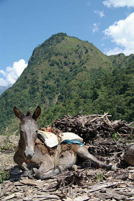 Resting Mule on Annapurna Round