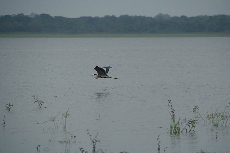Grey Heron in Flight Anuradhapura Tank