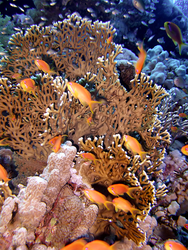 Antheas and Fire Coral