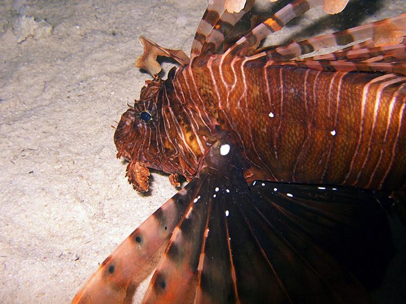 Hunting Lionfish