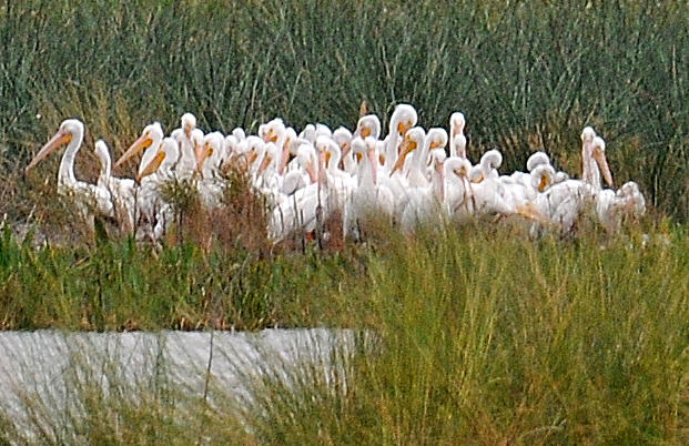 White Pelicans at Celery Fields