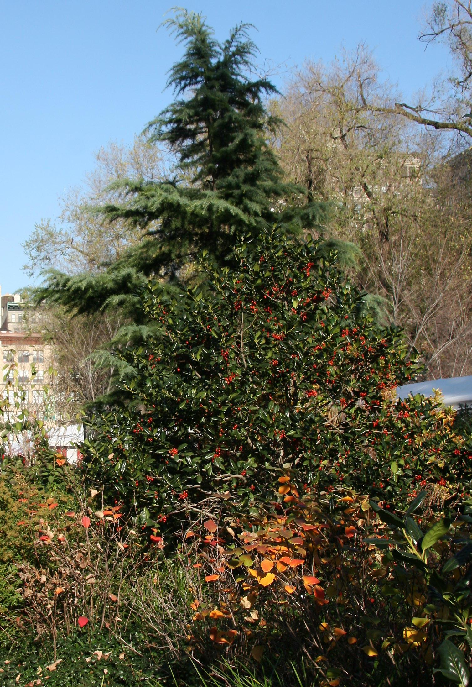 Fothergilla Bush, Holly & Pine Trees