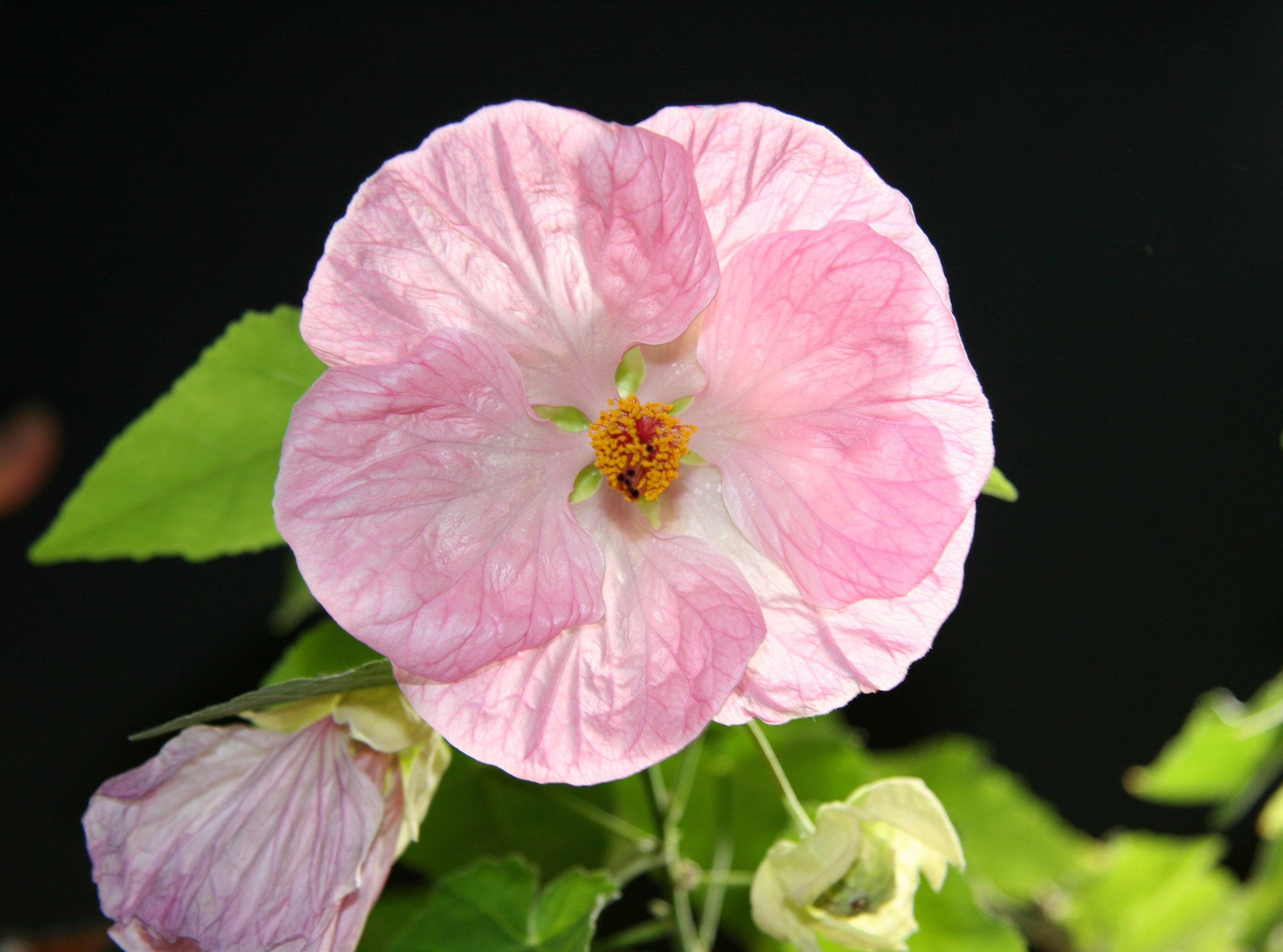 Abutilon Malva Or Flowering Maple Photo Hubert Steed Photos At