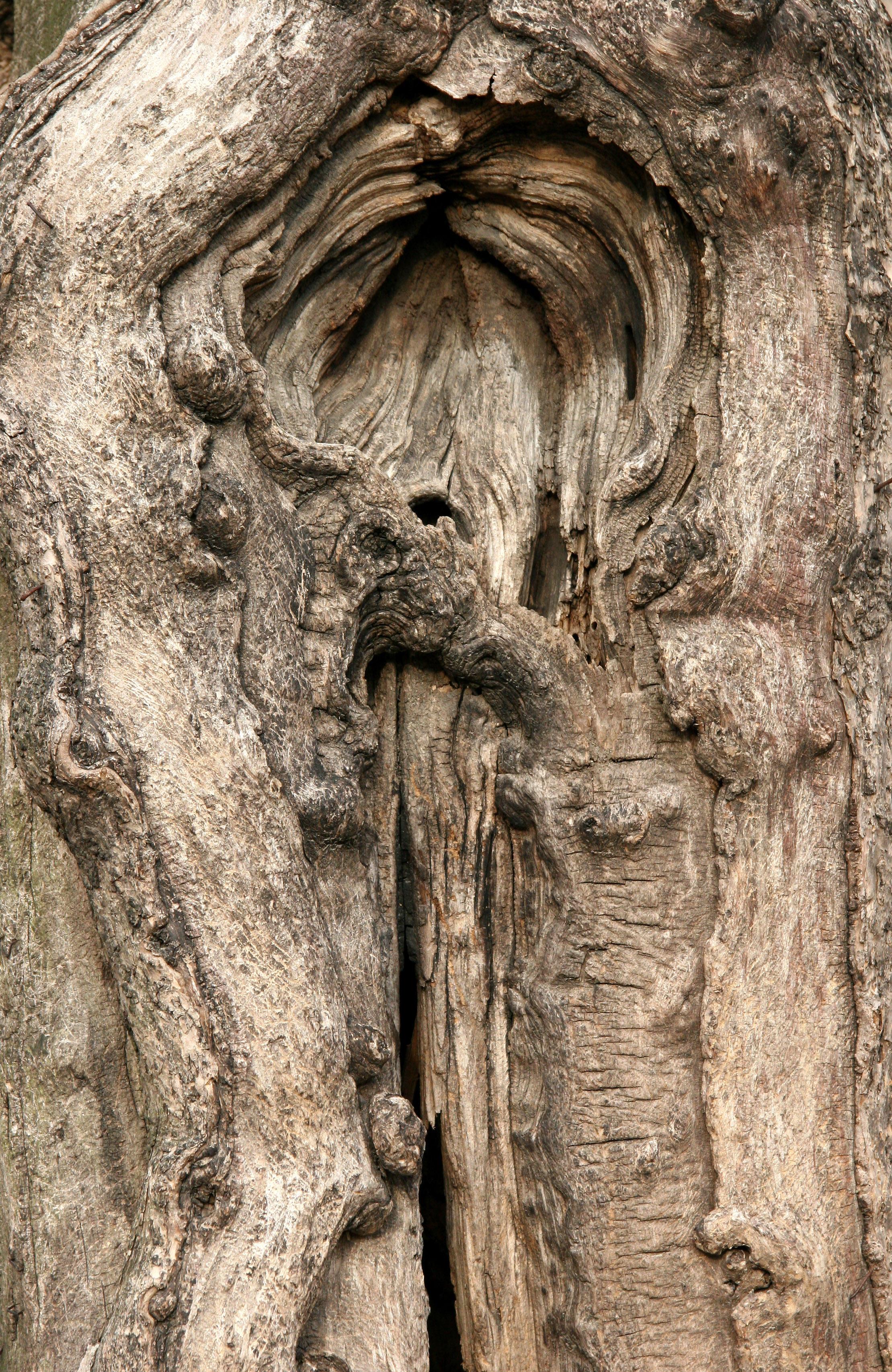 Catalpa Tree Trunk