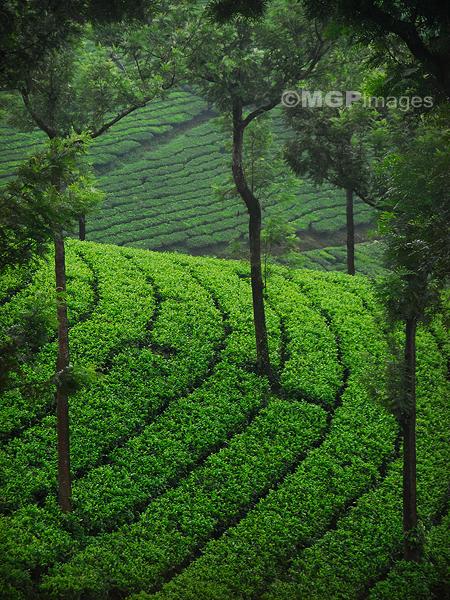 Tea fields, Munnar, India