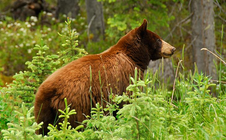 Bear, Jasper N.P, Canada