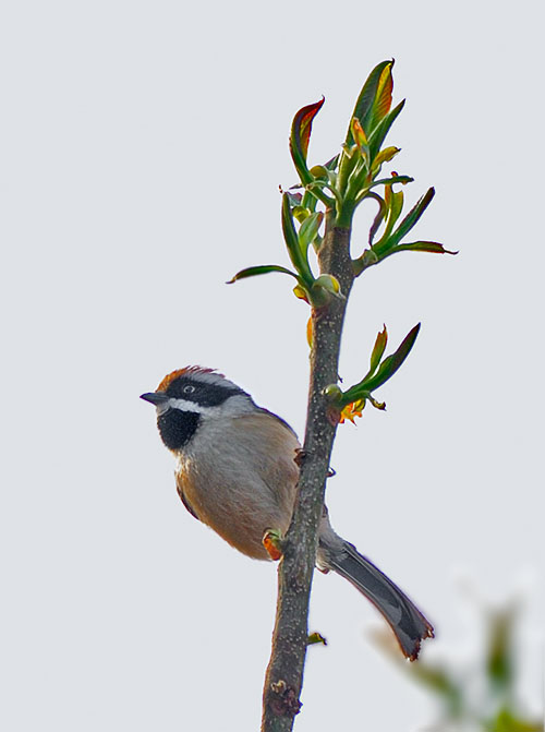 "Black-throated Tit (�g""ª'·""öŽR��)"