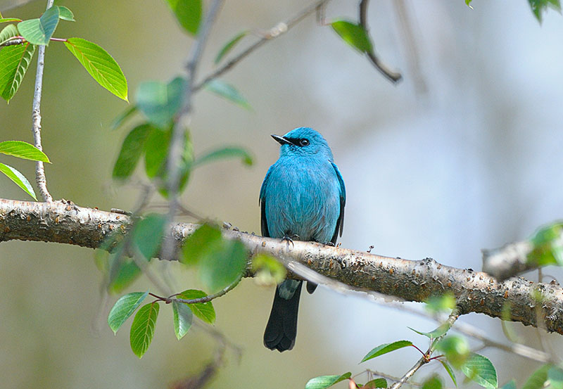 Verditer Flycatcher (銅藍鶲)