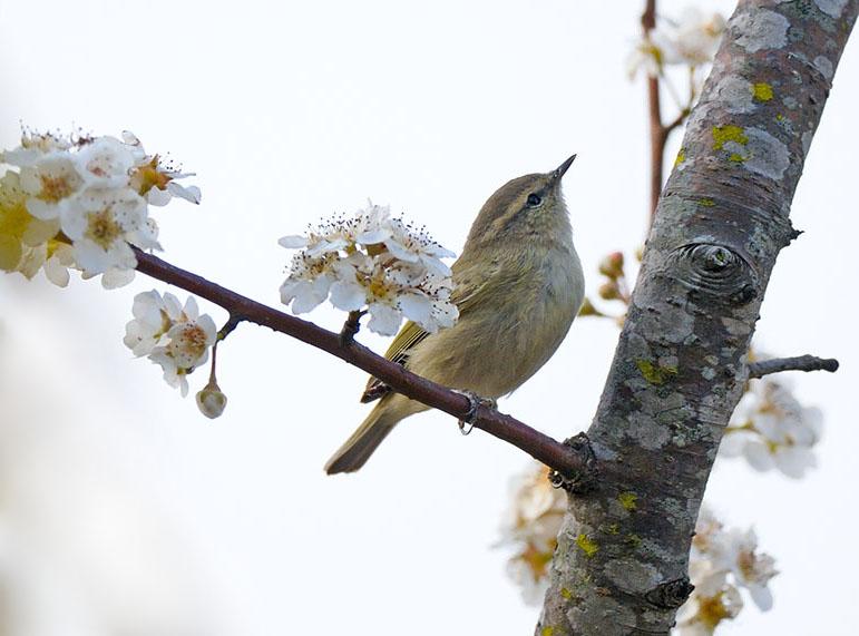 Greenish Warbler (ˆÃû�–öéò)