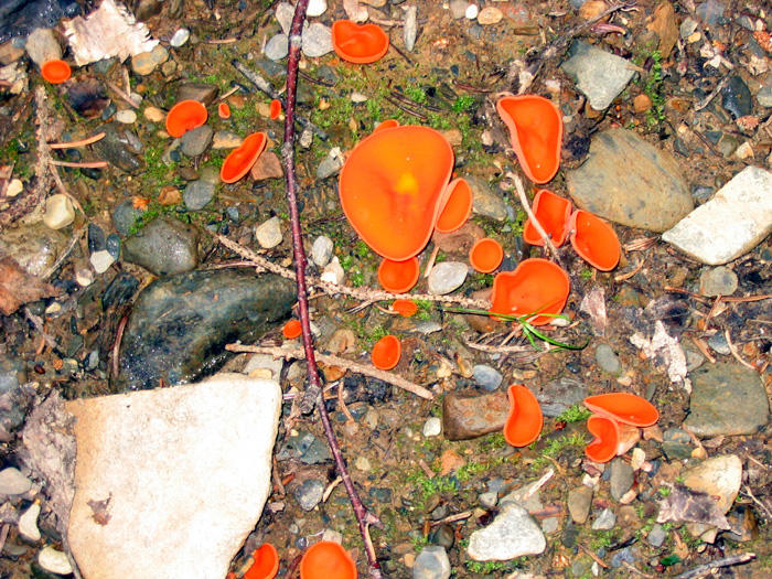 Aleuria aurantia-Orange Peel fungus-Pezize orangee