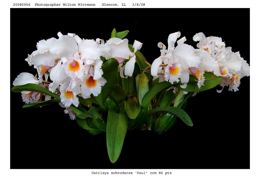 20085906 - Cattleya schoderae Paul  CCM/AOS  86 pts.