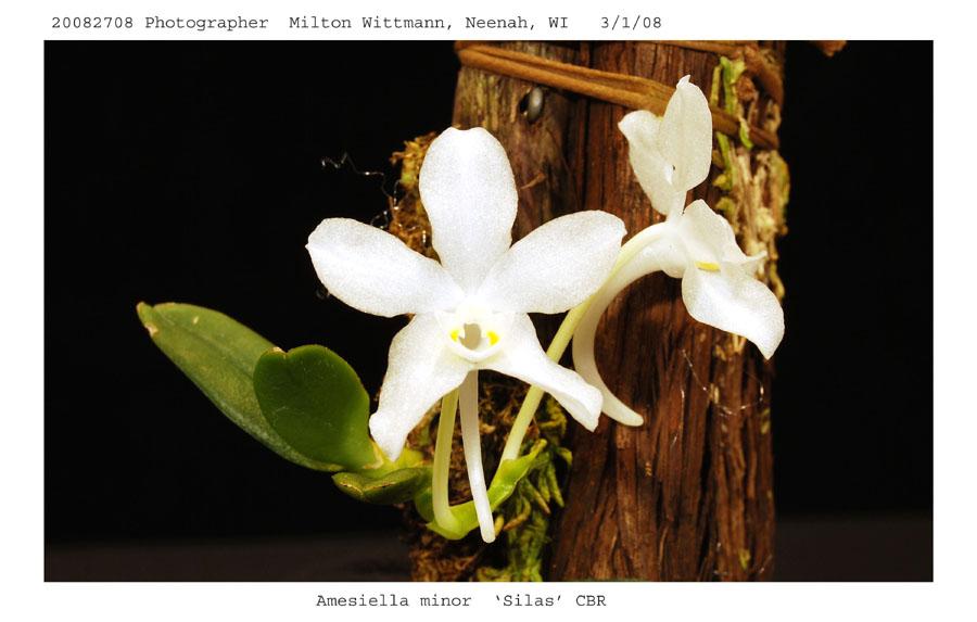 20082708 - Amesilla minor   Silas  CBR/AOS