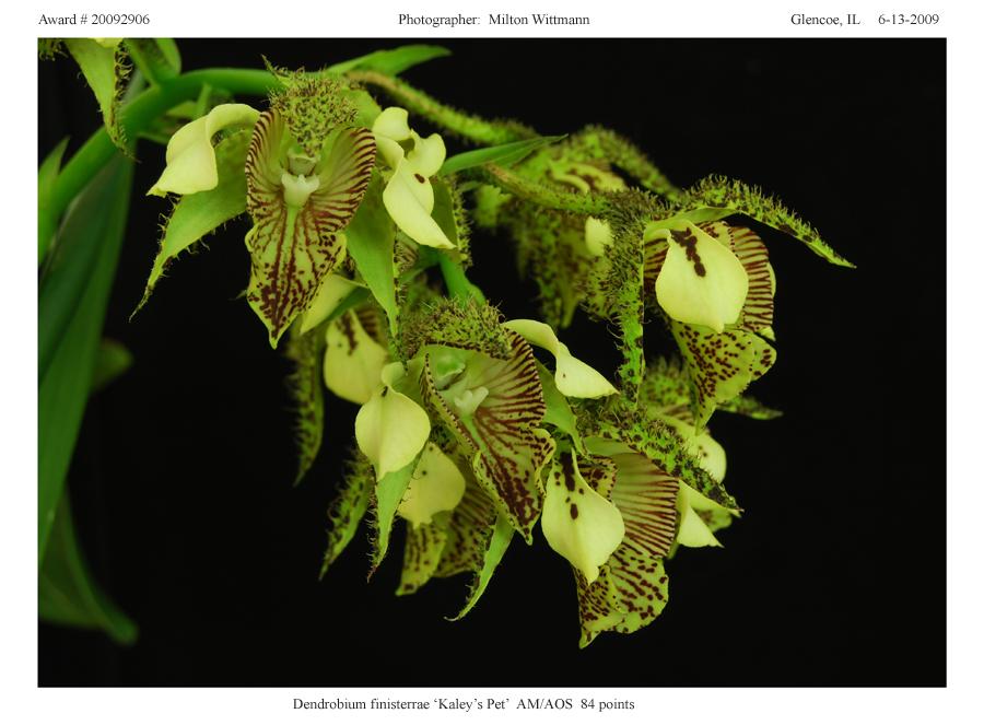 20092906 - Dendrobium Finisterrae Kaleys Pet  AM/AOS 84 pts.