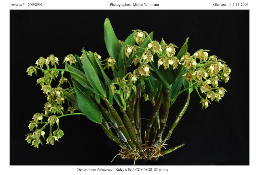 20092907 -  Dendrobiom finisterrae Kaleys Pet  CCM/AOS 83 pts.