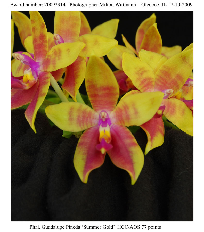 20092914 - Phal. Guadalupe Pineda Summer Gold  HCC AOS 77 points.jpg