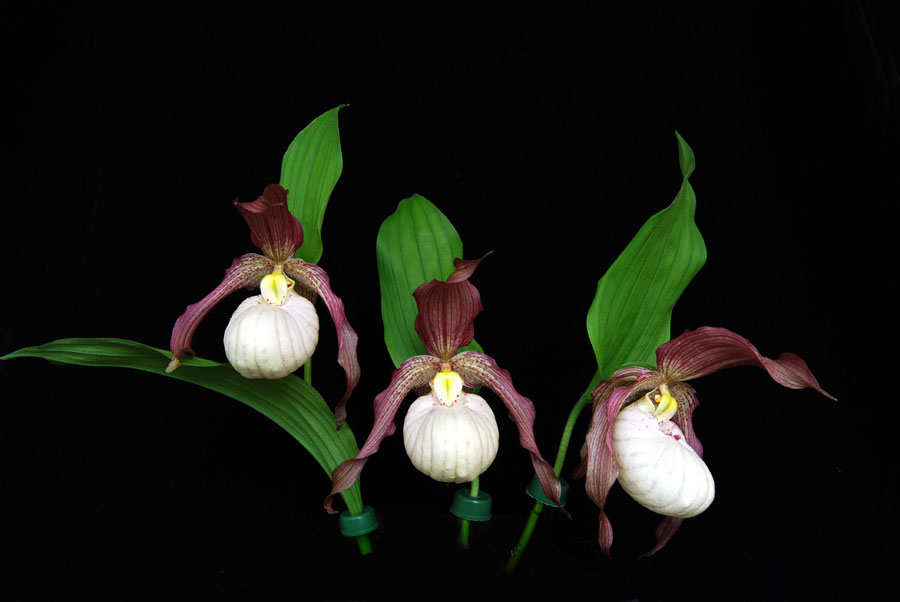 20105418  -   Cypripedium Aki  Dustys Spring Slipper  HCC AOS  78 points copy.jpg