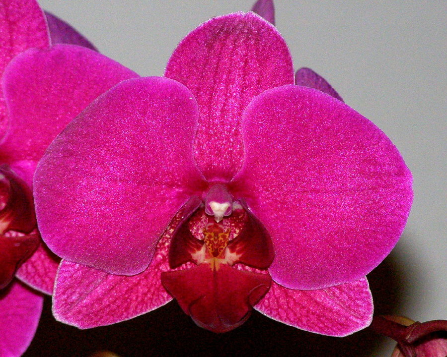 20105407  -   Phal Tung Lins Red-Monkey  Monkey Vision  AM AOS 80 points.jpg