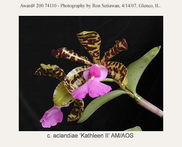 20074110 - Cattleya aclandiae Kathleen II AM/AOS (82pts)