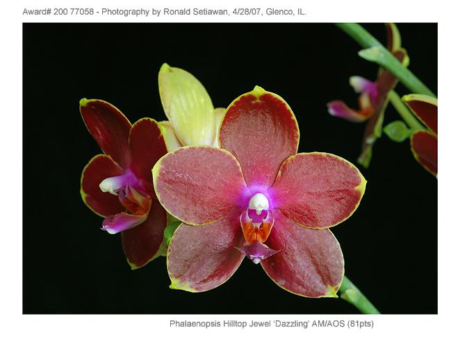 20077058 - Phalaenopsis Hilltop Jewel Dazzling AM/AOS (81pts)