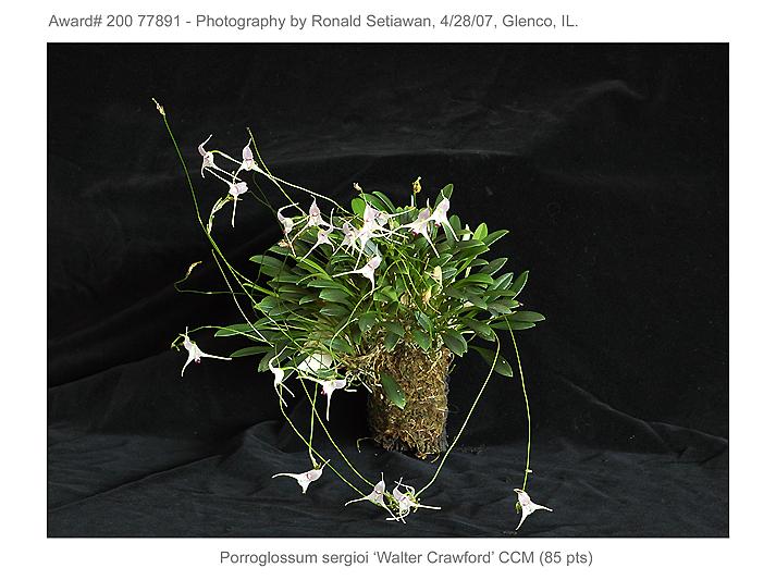 20077891 - Porroglossum sergioi Silas CCM/AOS (85pts)