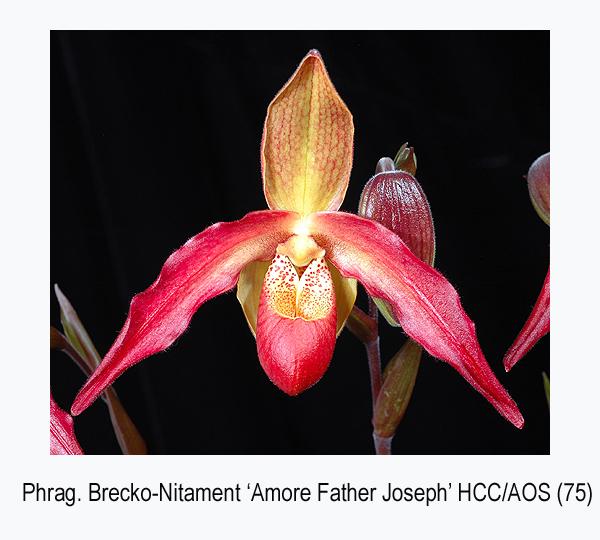 20061688 - Phrag Brecko Nitament  Amore Father Joseph  HCC/AOS 75 pts.