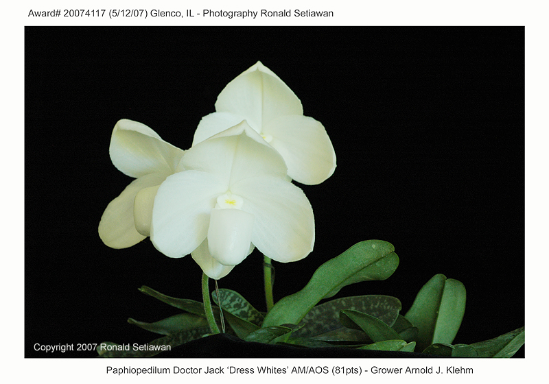20074117 - Paphiopedilum Doctor Jack Dress Whites AM/AOS (81pts)